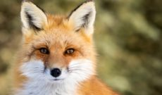 Image for #yannygate Highlights the Underrated Benefits of Keeping Foxes Around