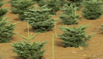Inside The Christmas Tree Industry