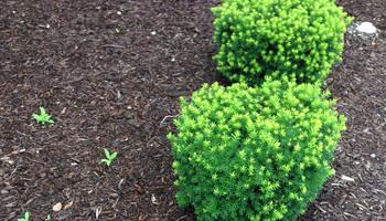 Transplanting Bushes