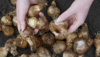Bedding Bulbs For The Winter