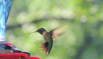 Here Come The Hummingbirds