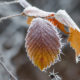 frosted-leaf