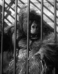 13_gorilla_thumbnail