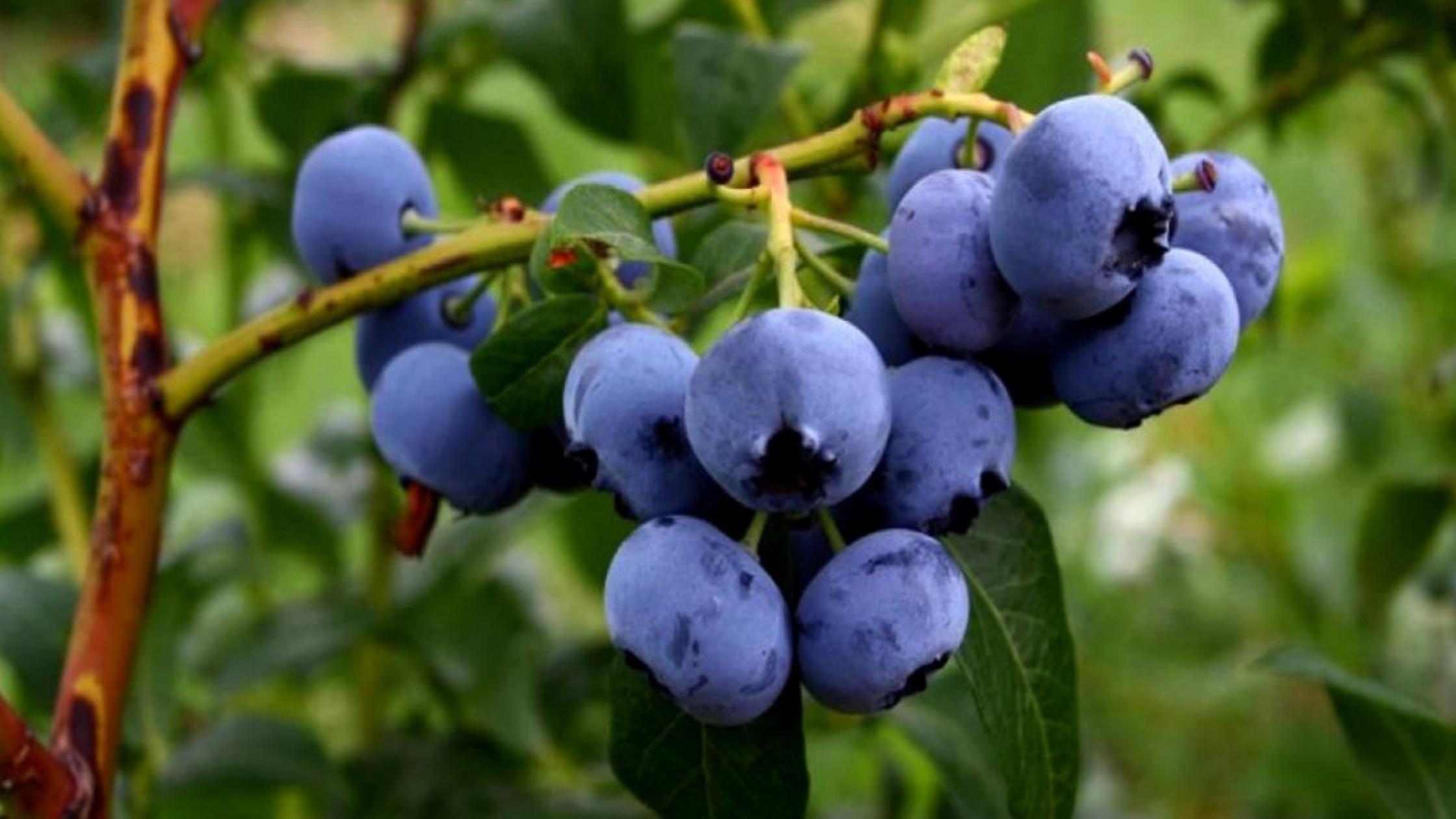 Plantación de arándanos: rentabilidad y características del cultivo