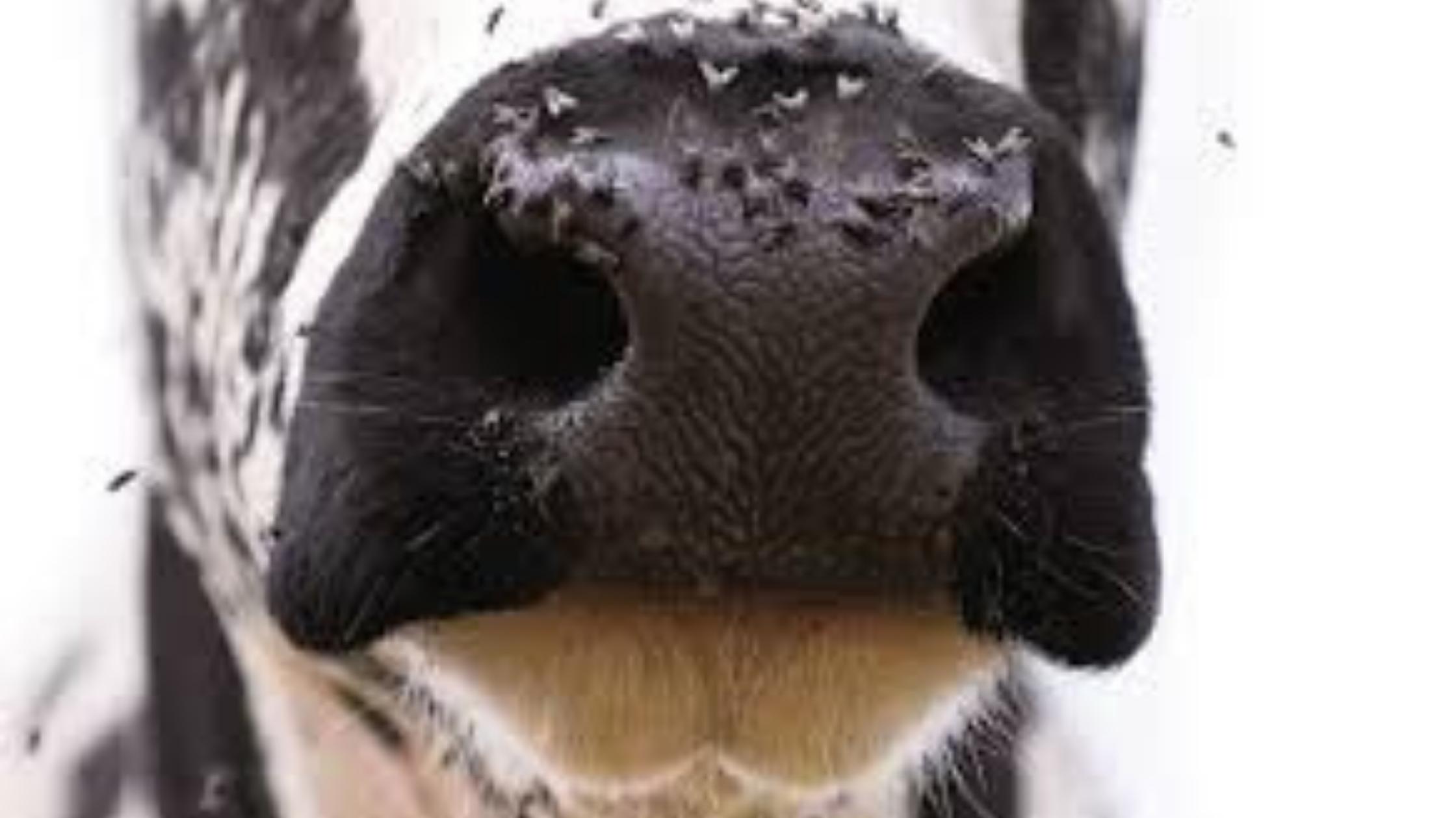 Importancia del control de moscas en la ganadería