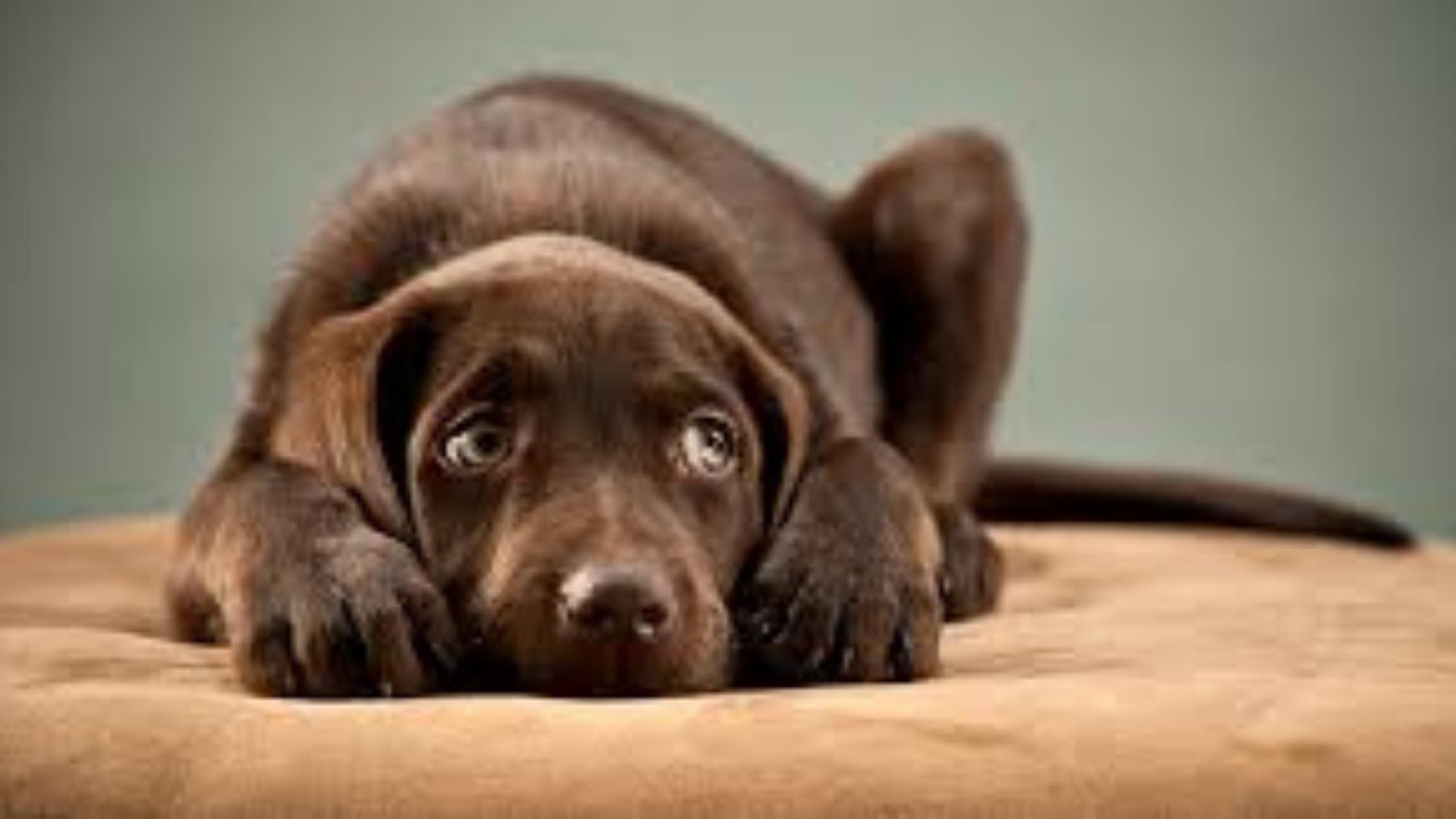Qué es la ansiedad en perros y cómo tratarla