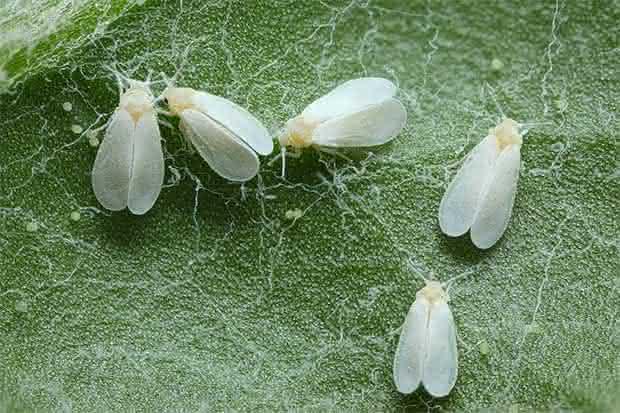 ¿Cómo combatir la mosca blanca?