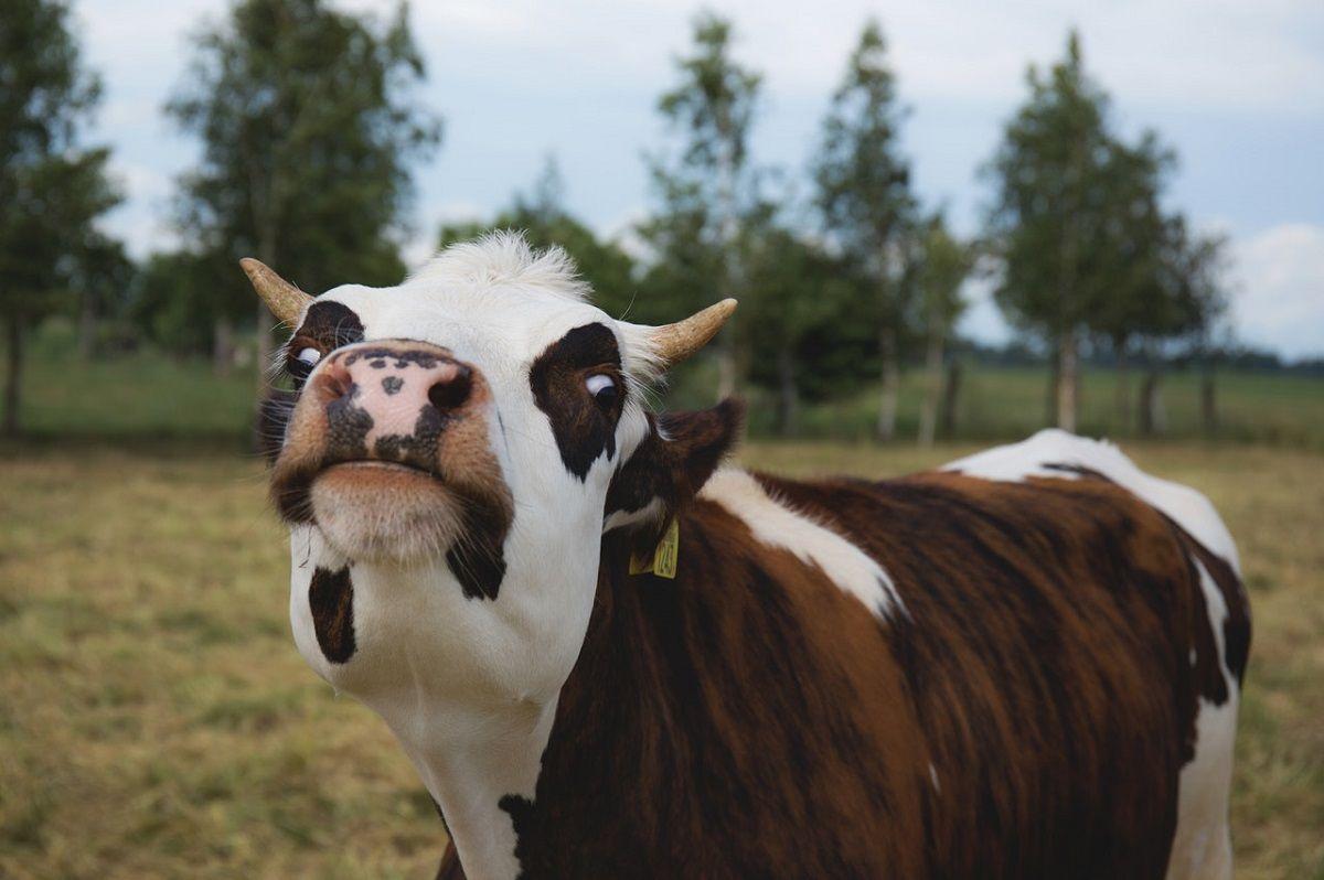 5 enfermedades reproductivas más comunes en bovinos