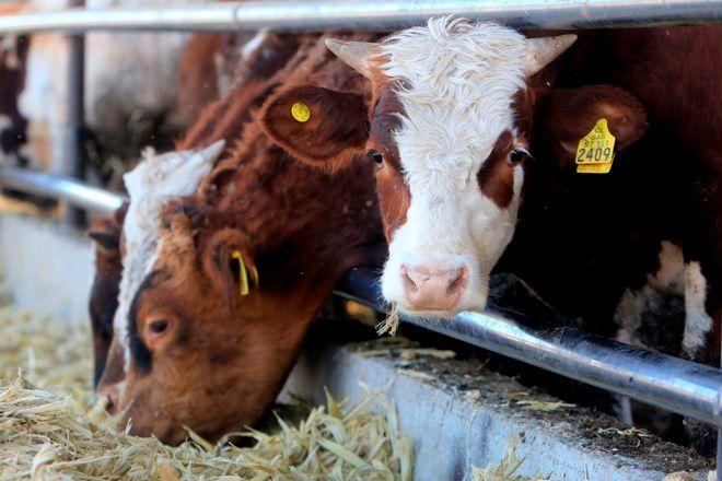 Tipos de estrés en bovinos