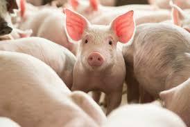 Colibacilosis porcina