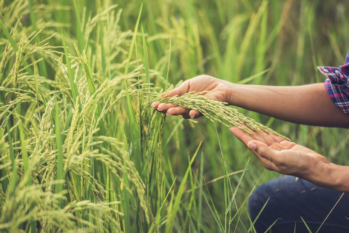Ambox, una solución para el cultivo de Arroz