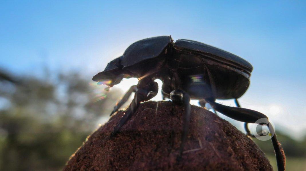 Importancia de los Escarabajos Estercoleros