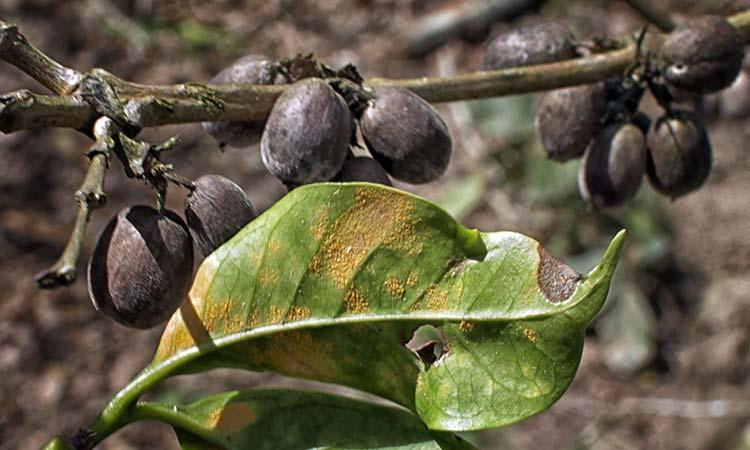 La Roya del café: La enfermedad más limitante del cultivo
