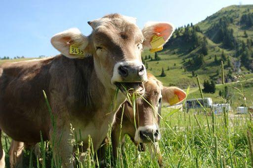 Plantas toxicas para el ganado bovino