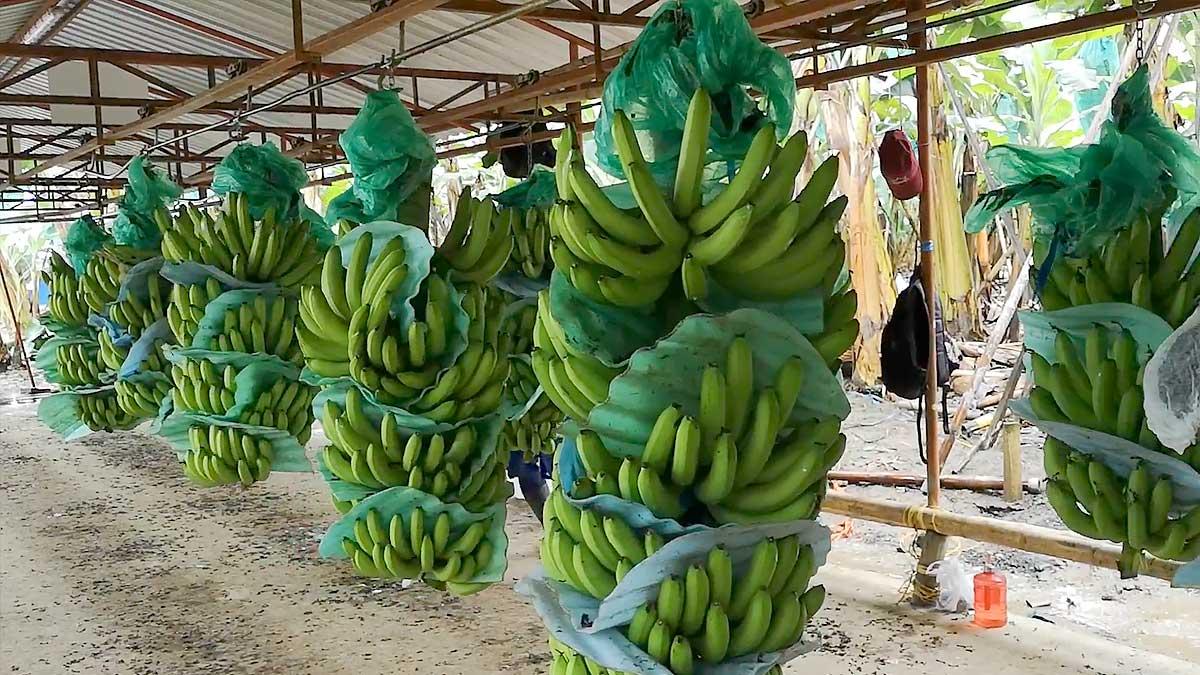 Banano colombiano en Medio Oriente, el norte de África y el sur de Asia