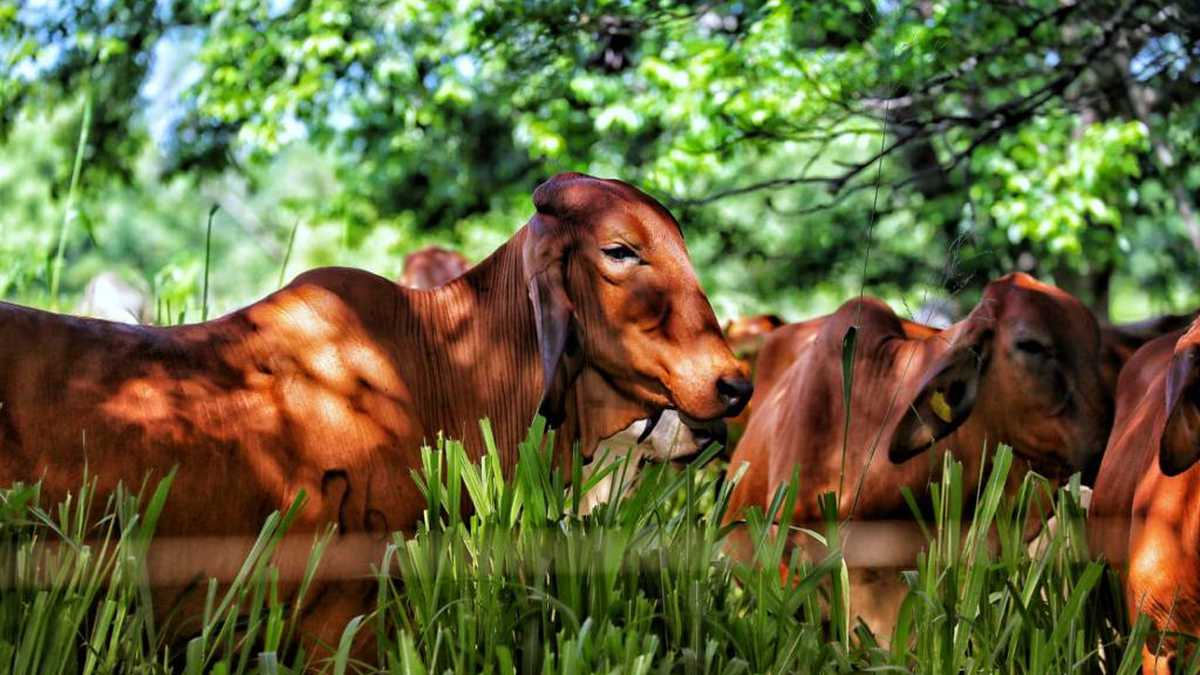 """""""La ganadería sostenible es nuestra ventaja comparativa en el mercado internacional"""": Fedegán"""