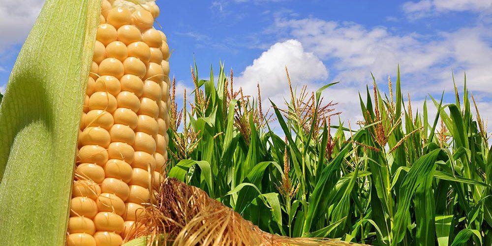 Tenga en cuenta estas recomendaciones a la hora de sembrar maíz en su finca