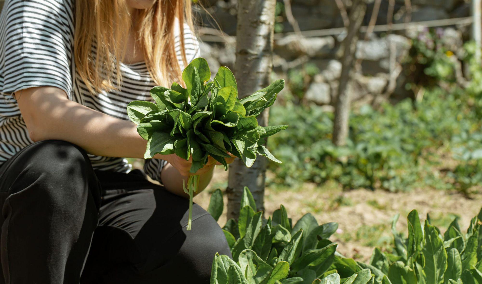 Tomillo,ajo,fresas y espinaca: entre los alimentos que puede cultivar fácilmente en casa