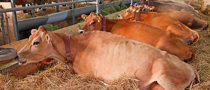 Factores ambientales estresantes afectan la adaptación del ganado