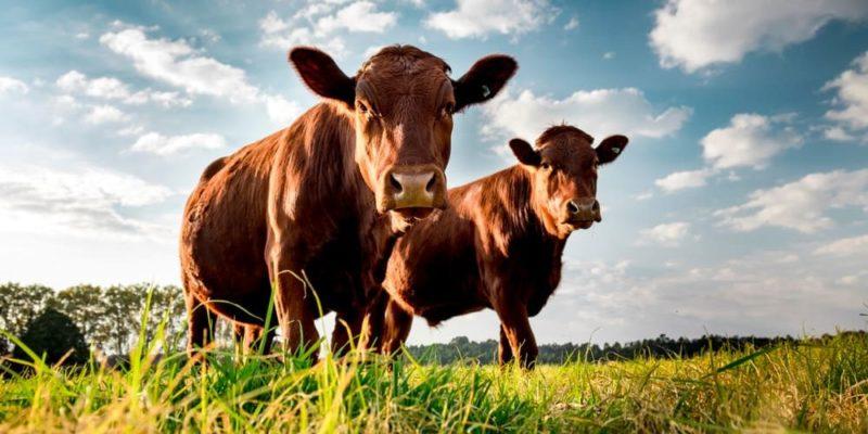 La ganadería sostenible rinde frutos a los agricultores colombianos