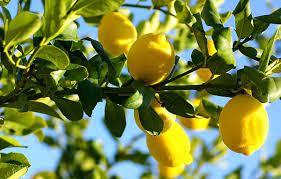 Cómo podar un limonero para que de frutos más grandes y jugosos
