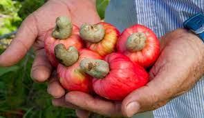 Productores buscan sembrar Marañón en la región Caribe con acompañamiento de Agrosavia