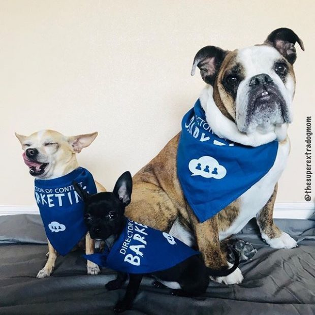 Three dogs wearing a Director of Content Barketing Bandanna