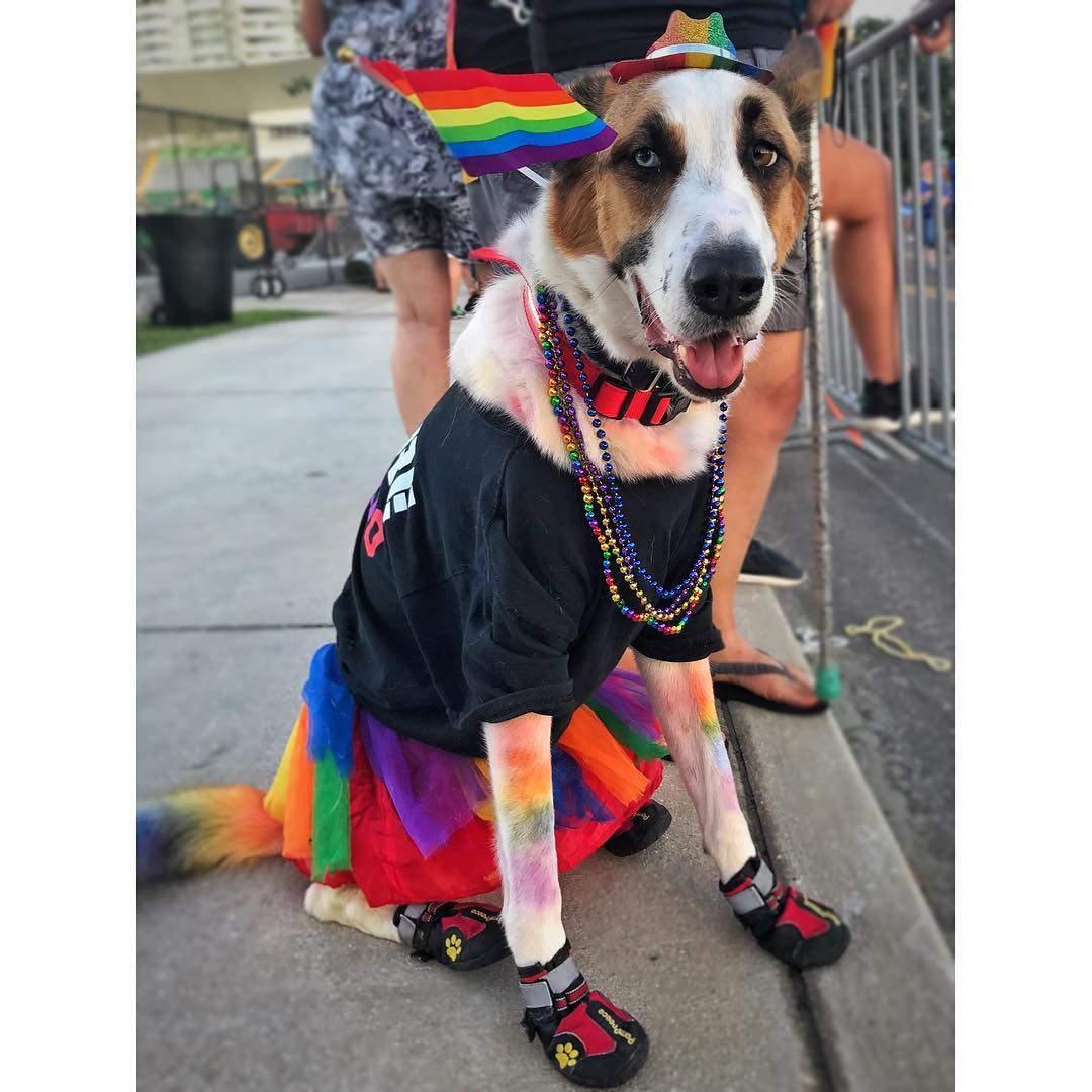 Coolest dog at the Pride!  #pride🌈 #pride2017 #pride #prideparade #stpetepride #ilovetheburg #igers #igersusa #igersstpete #igersflorida #dtsp #vspc #stpete #stpetersburg #stpetersburgfl #dogsofinstagram #WHP🌈 #pridemonth #florida #lovewins #dog #dogs #dogstagram #photooftheday  #vibestpete #liveamplified #dogoftheday
