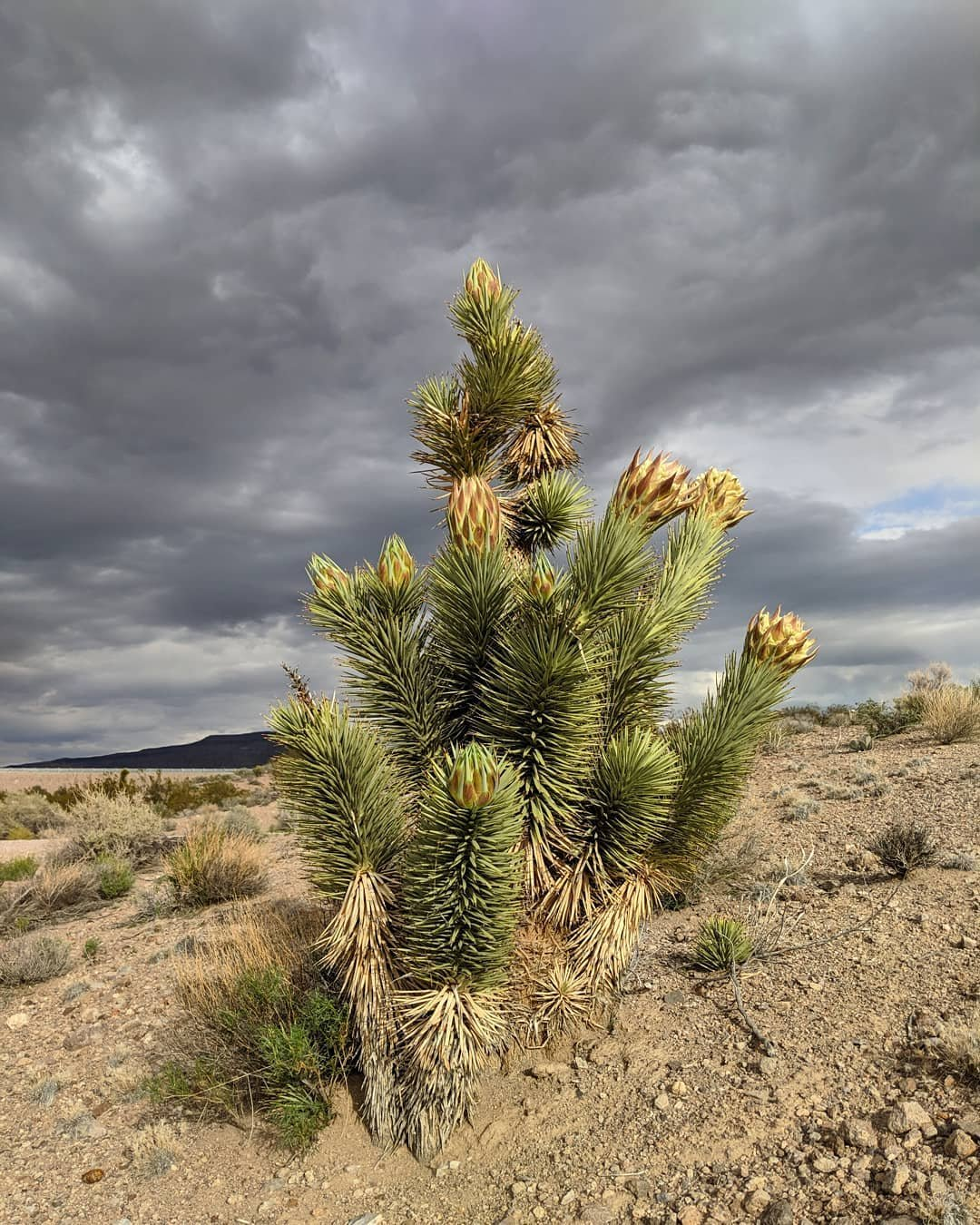 Joshua tree in bloom. #pahranagatnationalwildliferefuge #pahranagat #pahranagatvalley #joshuatree #inbloom #overcast #cloudy  #naturephotography #nature #desertplants #optoutdoors #explorenevada