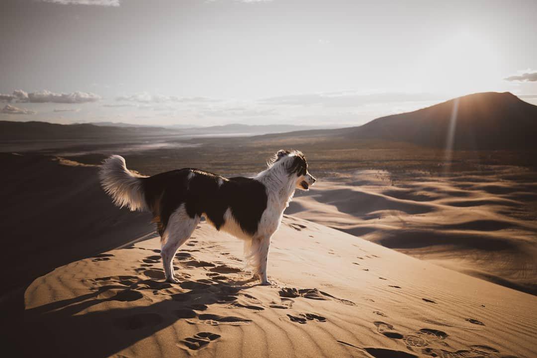 Exploring Nevada ❤ • • • #nevadaphotography #dogsofinstaworld #adventuredognation #dogsphotography #dogsthathike #explorer #onlyinnevada #dogadventures #paradiseonearth #planetearth #canonusa #dogsthattravel #travelnevada #travelphotography #bordercolliesrock #bordercollie #bordercolliestagram #aussieshepherd #bordercollieslovers #australianshepherd #dogs #desert #desertsunset