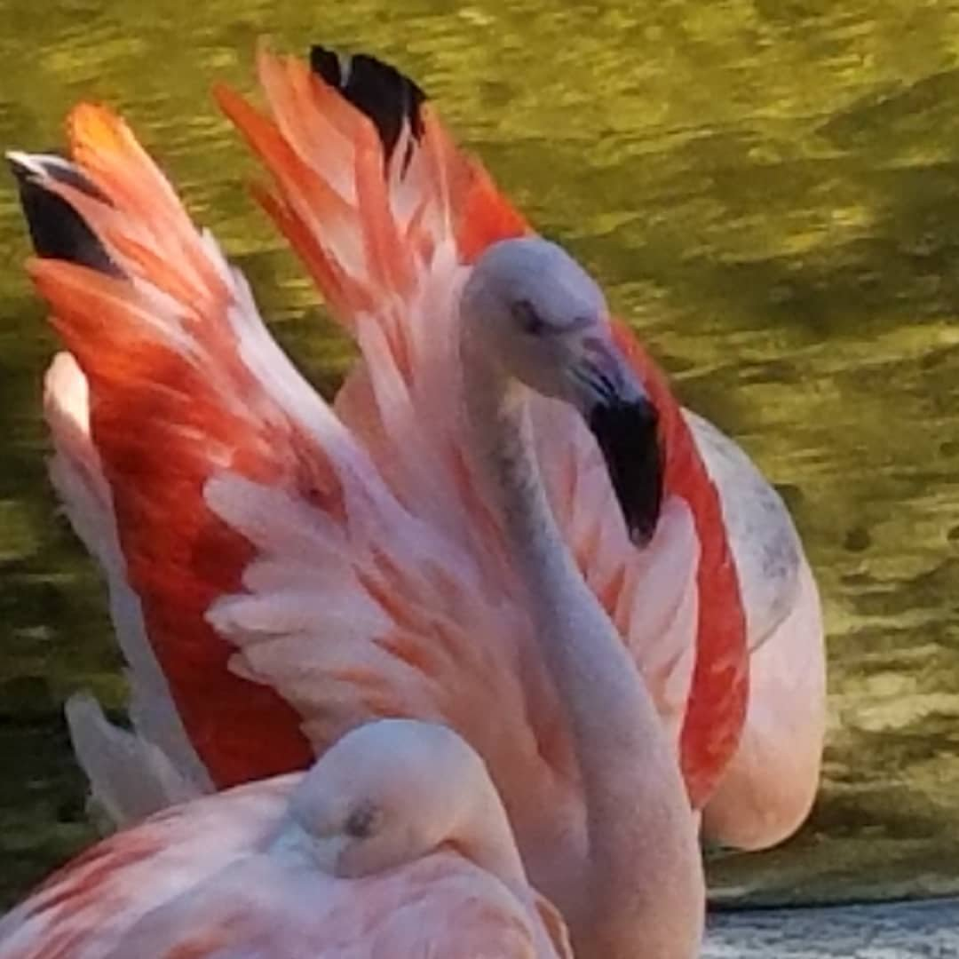Flamingos at Sunken Gardens -> Tropical Hot Dog Night... ;-) #sunkengardens #stpetersburgflorida