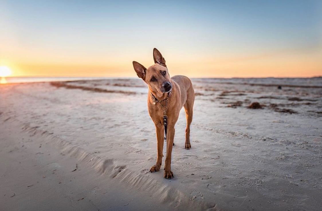 """""""Excuse me... did you bring my treat? 😊""""... #cleargram by jaxandthepack  srod2000 here with an after lunch feel great feature... Loving the composition of this image with such an inviting sunset.  Thank you for sharing with us. 🙌🏻🐶🦮🌅"""