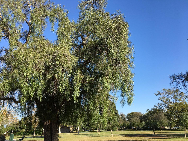Estancia Park trees