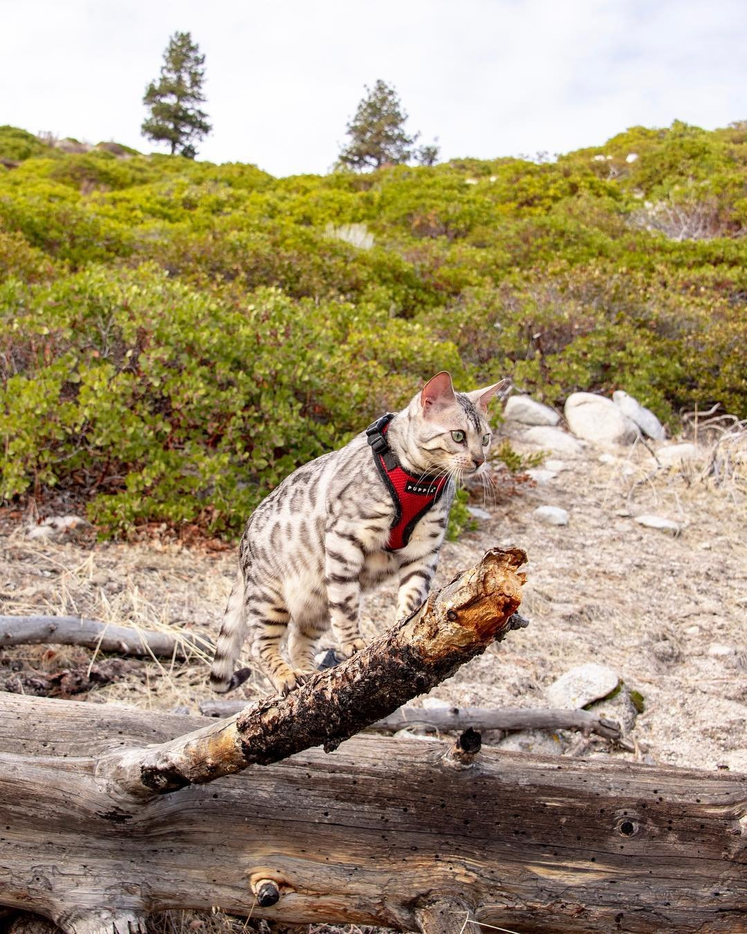 Spring is here!!! Gotta go out and smell all the things and chase all the bugs. • • • #nixthebengal #nevadastateparks #nvstateparks #silverbengal #getoutsidemore #outdoorcat #catonaleash #bringonthesnow #krazycatoftheday #meowed #adventureon #adventurecats #adventurecat #getoutthere #ig_bengals #getoutthere #catsoftheworld #igcats #catphoto #purr #topcatphoto #instakitty #animalphotography #meowbox #d750