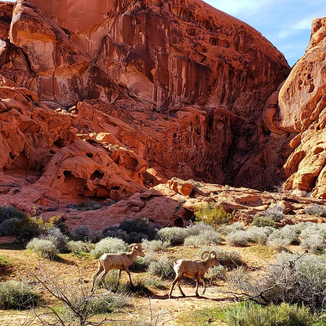 Just a casual stroll through the park...💗 ⠀⠀⠀⠀⠀⠀⠀⠀⠀ . . . . . #desertbighornsheep #bighornsheep #valleyoffire #valleyoffirestatepark #nevada #travelnevada #explorenevada #hikenevada #getoutside #goexplore #optoutside #thegreatoutdoors #exploremore #adventuremore #wanderlust #nature #naturephotography #landscape #landscapephotography #photography #animalphotography #travelphotography #travel #travelusa #roadtrip #roadtripusa #roadtripping #usatravel #travellife #locationindependent