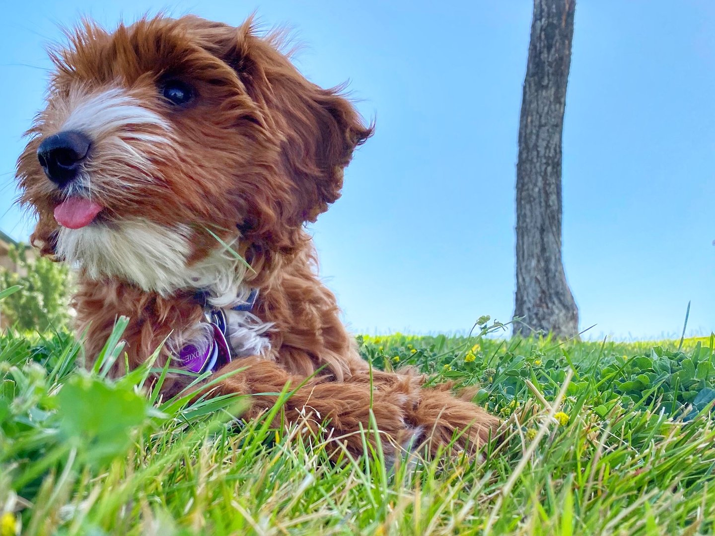 Moxie the Doodle in Costa Mesa park