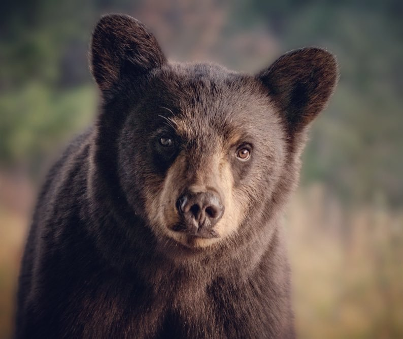 """Photo by user pbauchmanphotography, caption reads This sweet looking black bear is standing on our hot tub on the back deck. I got bear spray (and my camera) and slid open the sliding glass doors. As I clicked a shot, he didn't run but started moving towards me. As soon as I started to raise the bearspray he ran off - so he knew what that was before spraying! But it's not enough when they have become so habituated to scoring human garbage and food. As """"Explore Big Sky"""" just reported, five bears have been relocated from Big Sky and one euthanized - just in the month of August.  #blackbear #wildlife #urbanwidlife #naturephotography #montanafwp #montanamoment #visitbigsky #bigskymontana #naturalmontana #explorebigsky"""
