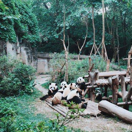 Chengdu Pandas Tours