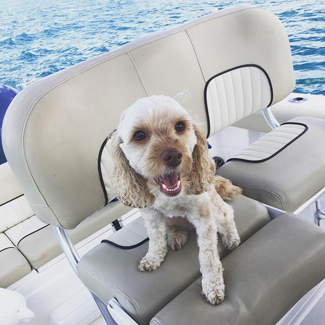 Vacations are hard work for cockapoos! . . . . . #christmasvacation #florida #floridaliving #gulfcoast #ocean #seabreeze #cockapoo #styledtosparkle #hattie #spoodle #dog #boat #boating #seafox #usa #fla #puppy #goldengirl #mylove #vacation #vacay #sunshine #sunnyweather #warm #beach