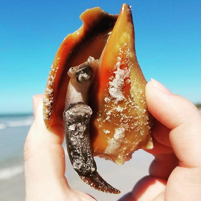 #floridafightingconch #conch #gulfcoast #florida #shells #saltlife #tbt #cleargram 📷: @neugsal1
