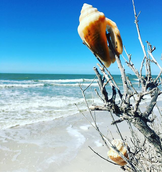 The trees needed some decorations #shells #beach #gulfcoast #florida #tbt #cleargram