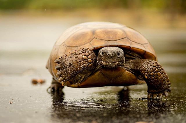 Gopher tortoise made a beeline for the road immediately as it started showering. He drank from the pools, saw me and headed my way. Perhaps I looked like a tortoise laying on the wet road. #igersstpete #tampabay #stpetersburg #weedonisland #gophertortoise #nikon #tamron90mm