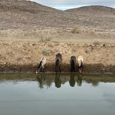 @sugarbeagle and I ran into some wild horses on our hike around Fernley today!!  #nevada #wildhorses