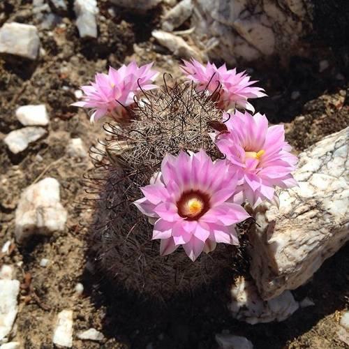 Found this little #mammillaria in bloom today #azwildflowerwatch #sonorandesert