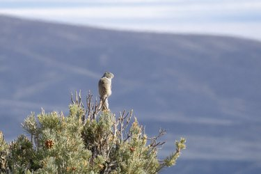 There are many great views to see at Great Basin National Park. As you hike find a nice overlook away from it all, please don't climb the trees.  Although rock squirrels form burrows in the ground, they are adept tree climbers and can often be seen peering out from treetops.  Share with us some of the views you have seen at Great Basin during your last visit!!  Image: A rock squirrel taking in the view atop a tree. GBI/Joseph Danielson