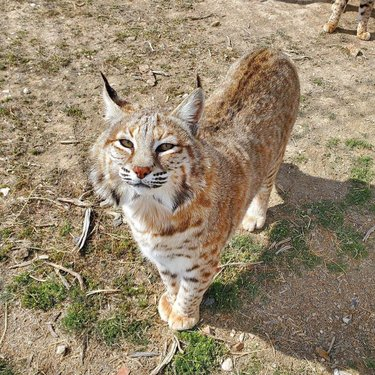 From all of us at Safe Haven, we hope you have a safe and happy Easter! #bobcats #bigcats #Nevada #wildlife #animalrescue #Easter #animals