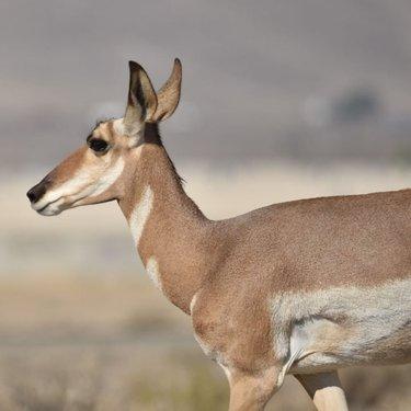 #antelope #wildlife #antelopeofinstagram #nevadawildlife #nevadawildliferefuge #wildlifephotography #hawthorne #gooutsideandexplore #visithawthorne #vidasalvaje #fotografiavidasalvaje