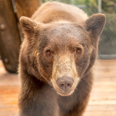 Gibbs the Black Bear - he is with us because he was fed by humans as a baby. He became acclimated to humans and would not survive if released into the wild. Please don't feed the bears!