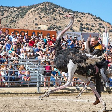 For 60 years, camels, ostriches and even zebras have come to Virginia City for the annual International Camel & Ostrich Races. This hilarious annual tradition dates back to the 1950s and features jockeys precariously perched on their beasts as they maneuver the track at high speeds. The goal? A win and accolades from the cheering crowd – all surrounded by this historic mining town. Watch it live - September 6-8. . . . . . #vccamelraces #camels #ostriches #zebras #OnlyinVC #Comstock #oldminingtown #quirkyevents