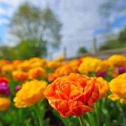 「ottawa river tulip」の画像検索結果